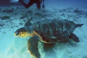 Hawksbill Turtle: Eretmochelys Imbricata