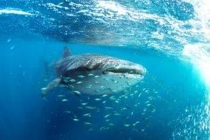 Whale Shark holidays Australia