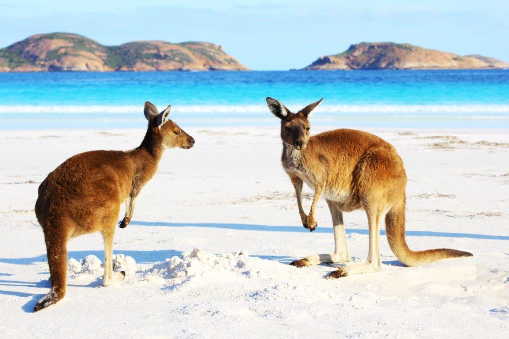 Kangaroos on the beach in Australia
