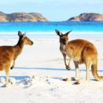 Kangaroos on the beach in Australia