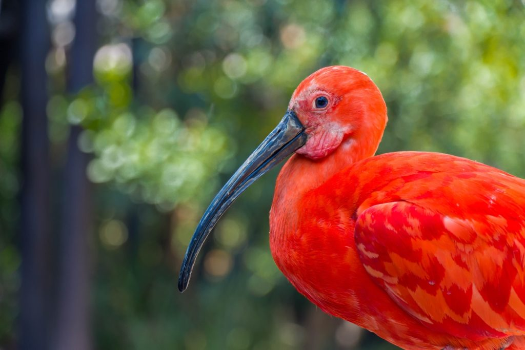 Scarlet Ibis - Trinidad and Tobago